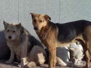 Бродячии собаки